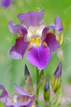 538248-close-up-of-iris-flower-Iris-sp--Stock-Photo.jpg (866×1300)