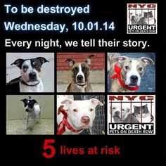 TO BE DESTROYED - 10/01/14 PITTIES ARE IN DANGER AGAIN. THESE DOGS COUNT ON US!!! LET'S NOT LET THEM DOWN!!! PLEASE OPEN YOUR HEARTS AND PLEDGE, TAKE THEM HOME, BUT BE QUICK AS TIME IS TICKING AWAY. PLEASE BE QUICK WHEN MAKING UP YOUR MIND. https://www.facebook.com/Urgentdeathrowdogs/photos/a.611290788883804.1073741851.152876678058553/878598338819713/?type=3&theater