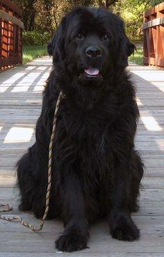 Massive Newfoundland - Sweetest dog ever