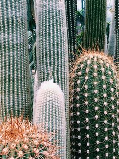 On the Canary Islands, spain you will find a lot of cactus plants