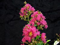 Crape Myrtle tuscarora. broad vase 20-25. high mildew resistance. great exfoliating bark.  Tuskegee is very similar only difference is slightly shorter 15-20
