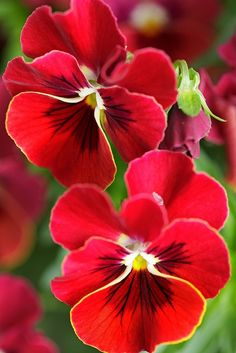 Beautiful Red Pansies! Look at the great black linear design in the middle and a how the touches of white set everything off. Brilliant!| PicsVisit