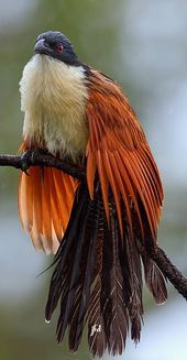 Coucal de Burchell – Burchell's Coucal – Burchellkuckuck – Coucal de Burchel… - Pets World Pretty Birds, Beautiful Birds, Animals Beautiful, Cute Animals, Beautiful Pictures, All Birds, Birds Of Prey, Love Birds, Exotic Birds