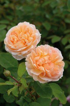 'The Lady Gardener'   David Austin English Rose