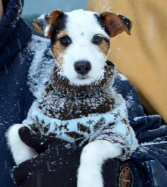 Jack Russell...