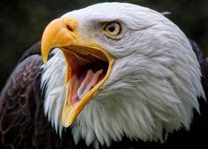Bird of Prey Nature Animals, Animals And Pets, Beautiful Birds, Animals Beautiful, Aigle Animal, Rapace Diurne, Eagle Pictures, Eagle Images, Where Eagles Dare