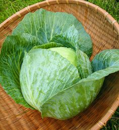 This blue-green variety offers tolerant crops that can grow in Spring, Summer or Fall, with disease-resistance and large heads for excellent harvests.