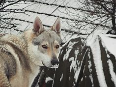 Ares Czechoslovakian Wolfdog one year old dog still a puppy