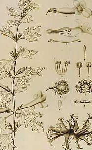 Devils Claw - Harpagophytum procumbens