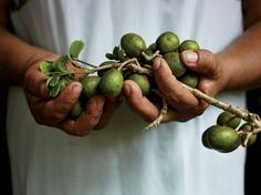 Ciruelas, Mayan plums that grow on the Hartwood property, are often served with whole roasted fish.