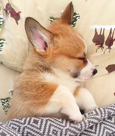Bed times ♥️ Tag your friends  Follow and use #myfavcorgi to be featured  Starring  @jimmyjamcorgi