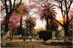 Florada dos ipês (praça Getúlio Vargas)-Alegrete-RS