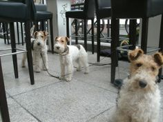 The three Fox Terriers King, Pippa and Hanni.