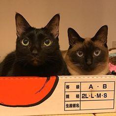 折角のお休み。クローゼットの整理とか、見当たらないストール捜索とか 笑 色々やろうと思ってたのに…  ウッカリの十津川マジック📺Σ(゚д゚lll)  2時間テレビに釘付け〜('、3_\)_  何もせずテレビに張り付くおばちゃんを呆れて見てる#にゃにゃ子 と#マメちゃ ((;゚Д゚))) #猫 #cat #cats #catinsudaguramu #ねこ #ネコ #ねこにゃん #にゃんにゃこ #にゃんこ #めんちょこ #多頭飼い #保護猫 #ねこまみれ #ねこ好き #ねこすたぐらむ #にゃんすたぐらむ #にゃんだふるらいふ #癒し #kawaii #黒猫 #黒猫部 #シャム系 #愛猫 #二時間ドラマ #十津川警部 #刑事ドラマ #買い物行かなきゃ