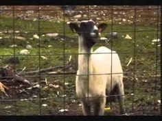 Screaming Sheep Sounds Like A Human LOL!!!