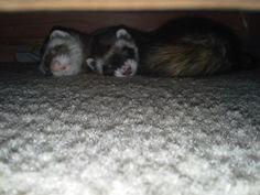 Ferret Snuggles