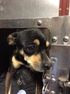 TO BE DESTROYED 03/15/17 ***REASON: SPACE*** 34641697 - Chihuahua - 5 years old - #34641697 - FOR MORE PICS, VIDEOS & INFO: http://www.dogsindanger.com/dog/1487109118125