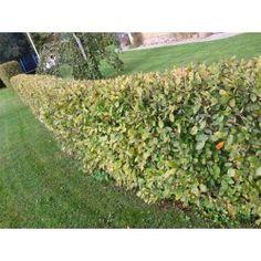 HÄGGMISPEL E-pl. häck (krukodlad) 1-PACK Hedges, Vineyard, Outdoor Structures, Garden, Plants, Tips, Advice, Lawn And Garden, Living Fence