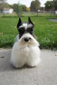 Image result for teacup schnauzer full grown