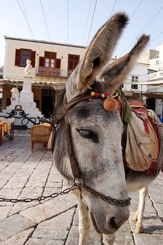 Donkeys and mules seem to be the only trustworthy transportation tools at Hydra. They are widely used to carry anything, from people to shopping to construction matterials etc. You can find no cars, except for two small trucks that take away trash.....a car would never fit in the narrow streets (?) of Hydra, or could never climb up the stairs that connect alleys, houses, little squares etc.