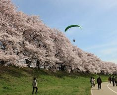 54:「京都、背割りさくらを見ていたら上からひとが・・・」@背割り提のさくら祀り