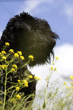 Black Russian Terrier. Beautiful and Massive animal! Would love to own one of these one day!