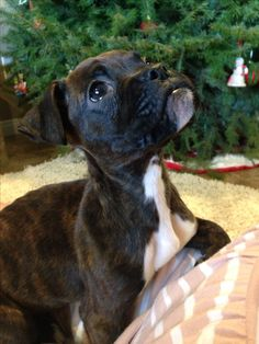 Christmas brindle boxer puppy