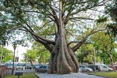 """Com objetivo de recontar a história do Recife, o """"Circuito dos Baobás"""" acontece entre os dias 5 e 19 de outubro. A visitação às árvores tombadas pelo município é realizada sempre aos sábados, a partir das 14h. O ponto de encontro é a Praça do Arsenal. A atração é Catraca Livre, mas é preciso se inscrever pelo telefone (81) 3355-8605, nas sextas-feiras que antecedem o passeio."""