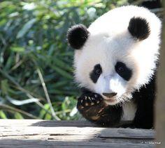 Panda's aren't worth saving? Panda Love, Cute Panda, Panda Panda, Hello Panda, Panda Funny, Animals Of The World, Animals And Pets, Cute Animals, Save The Pandas