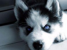 Pomsky; Pomeranian and Siberian Husky Resource - Size, Price ...