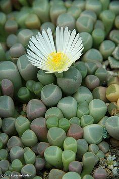Fenestraria es un género monotípico de plantas suculentas perteneciente a la familia Aizoaceae. Esta especie es llamada planta ventana