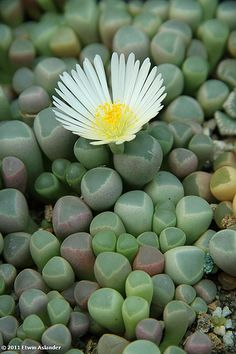 Fenestraria rhophalophylla..such a surprising flower from this succulent!