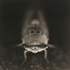 cicada, platinum/palladium print by David Johndrow, 2008