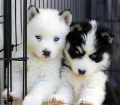 Teacup Pomeranian Husky | We had a beautiful litter of Pomskys born this morning…