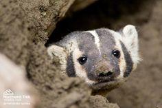 #Badger