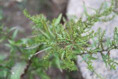 Mastruz ou erva-de-santa-maria (Chenopodium ambrosioides) ©Sabor de Fazenda