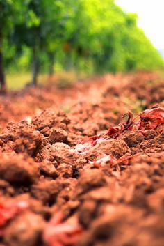 The Lupicaia vineyard at Castello del Terriccio. Sbronzi tour 2011