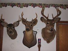 Vtg Trio Whitetail Deer Head Shoulder Mount Taxidermy Mounted Shed Antler Mule