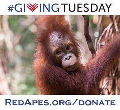 #GivingTuesday image featuring Baby Orangutan Rickina from IAR Ketapang.  Adopt her today!  http://redapes.org/adopt