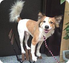 Adopt a Pet :: Hachi - San Francisco, CA - Collie/Sheltie, Shetland Sheepdog Mix