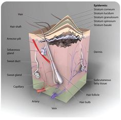 The integumentary system consists primarily of the skin. The skin performs a variety of functions such as protection, water balance, temperature regulation, excretion, and shock absorption. The skin is only a few millimeters thick yet it is by far the largest organ in the body and consist of 3 major layers the epidermis, the dermis, and the subcutaneous layers.  http://MedicTests.com