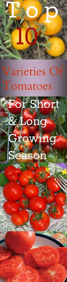 10 Best Varieties Of Tomato Plant To Grow In Short And Long Growing Season .