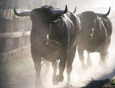 MIURA bull-fighting-Thierry Bisch Animal painter
