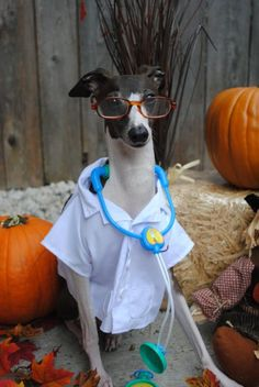 Antonio the Italian Greyhound - my newest boyfriend :) Cute Puppies, Cute Dogs, Animal Dress Up, Animal Costumes, Italian Greyhound, Mans Best Friend, Cute Baby Animals, Dog Bed, Dog Life
