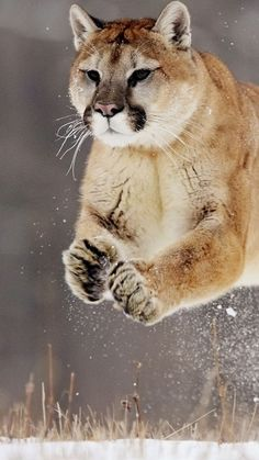 Puma in motion, splendid !