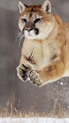 Puma in motion, splendid!
