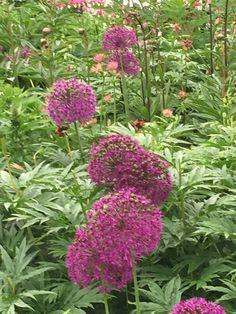 Allium ukkolaukka