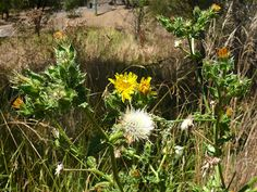 Round the Bend Conservation Co-operative, Protecting, sharing and living on the best piece of bushland close to Melbourne. Milk Thistle, Conservation, Dandelion, Flowers, Plants, Dandelions, Plant, Taraxacum Officinale, Royal Icing Flowers
