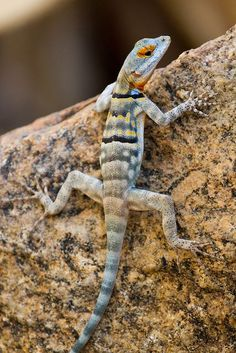 ©Seth Patterson A Baja Blue Rock Lizard, Les Reptiles, Reptiles And Amphibians, Mammals, Geckos, Lizard Species, Lizard Dragon, Cute Lizard, Chameleon Lizard, Small Lizards
