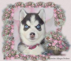 Beautiful Eyes - black and white siberian husky blue eyes